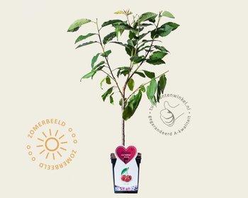 Prunus avium 'Hedelfinger' - patio