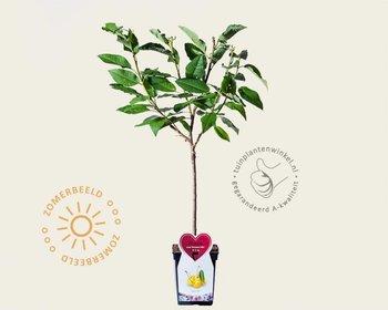 Prunus avium 'Dönissens Gelbe' - patio