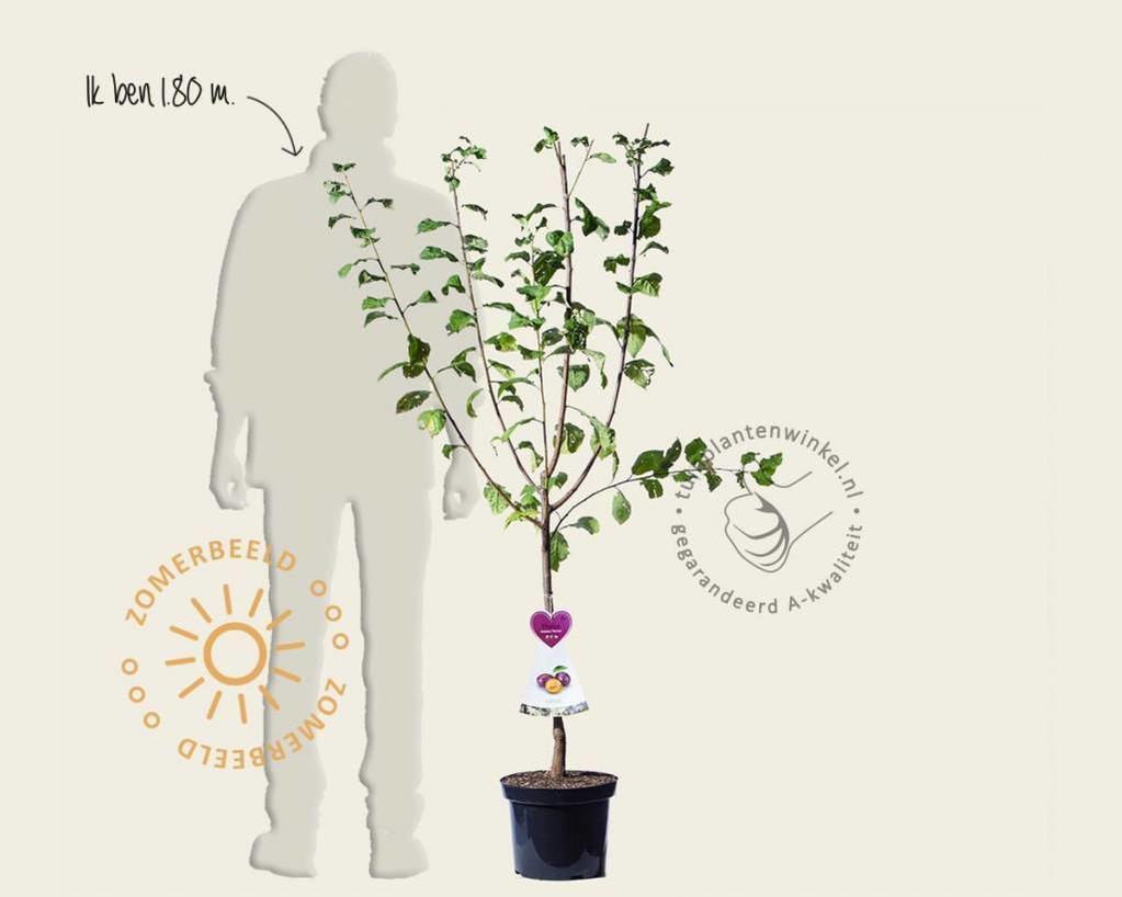 Prunus domestica 'Czar' - laagstam