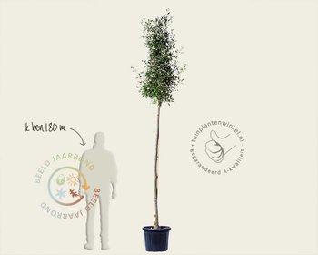 Quercus ilex - hoogstam