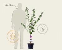 Prunus domestica 'Hauszwetsche' - laagstam