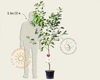Prunus avium 'Dönissens Gelbe' - laagstam