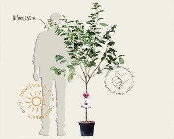 Prunus avium 'Hedelfinger' - laagstam