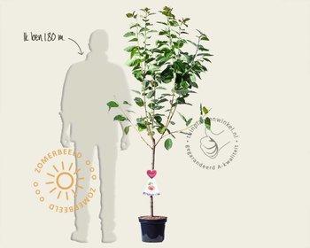 Prunus avium 'Bigarreau Napoleon' - laagstam