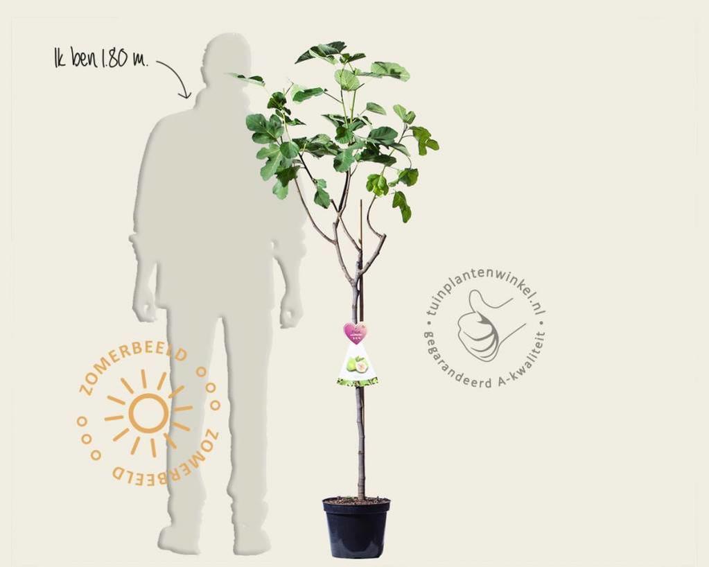 Ficus carica 'Blanca Gota' - halfstam