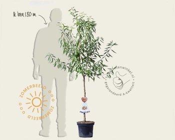Prunus dulcis - laagstam