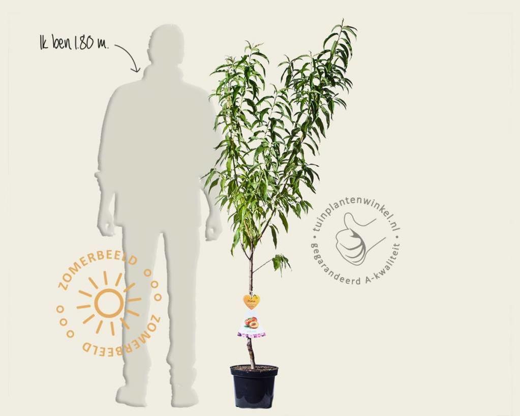 Prunus nucipersica 'Flavortop' - laagstam