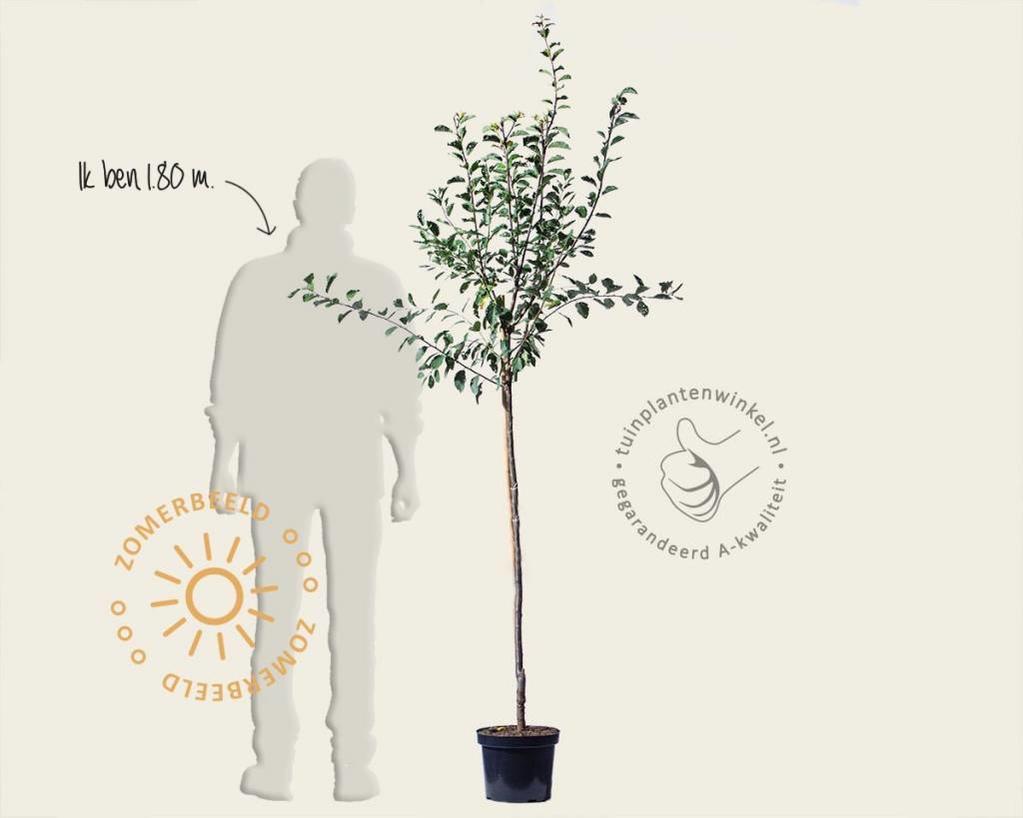 Prunus domestica 'Ontario' - halfstam