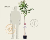 Prunus avium 'Hedelfinger' - halfstam