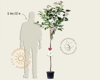 Prunus avium 'Dönissens Gelbe' - halfstam