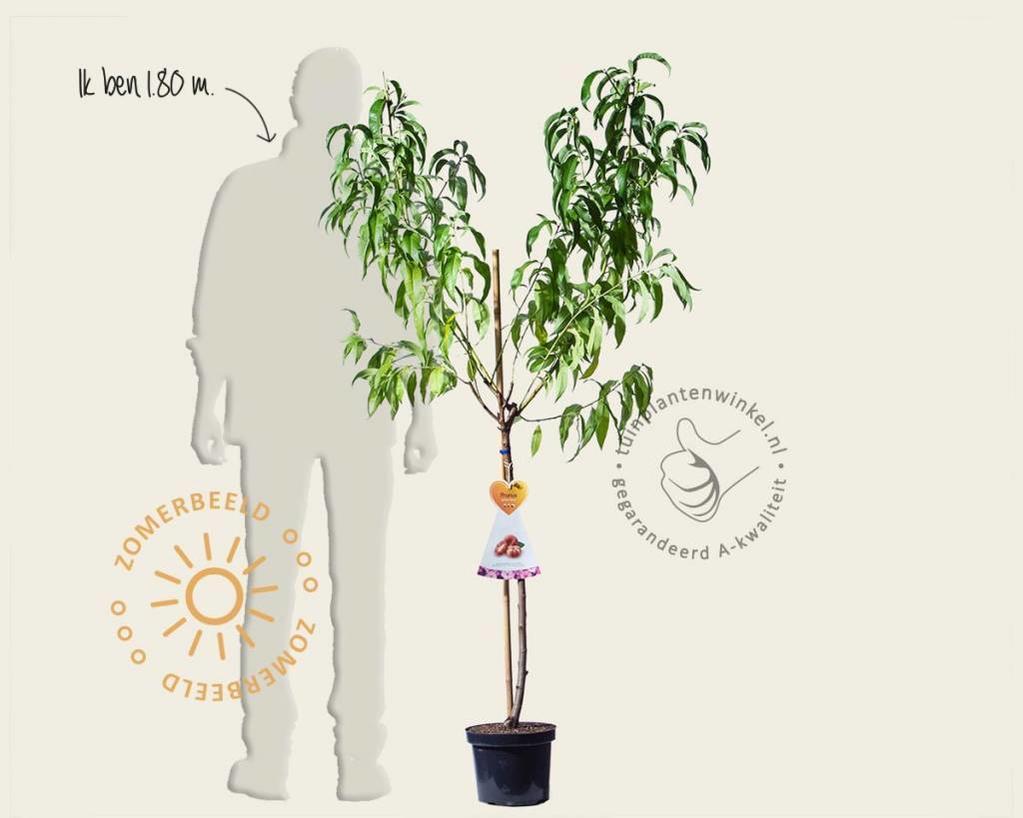 Prunus nucipersica 'Saturn' - halfstam