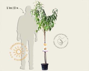 Prunus nucipersica 'Peregrine' - halfstam