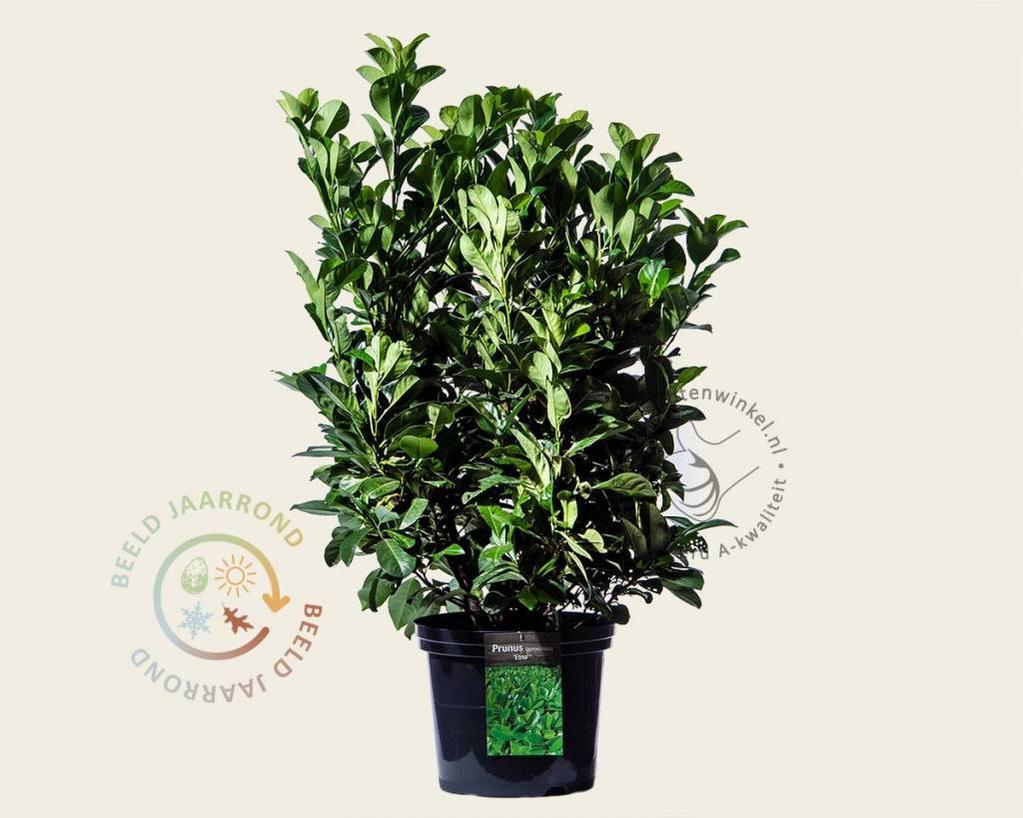 Prunus laurocerasus 'Etna' 060/080 - in pot