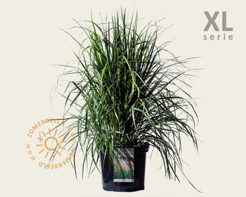 Calamagrostis acutiflora 'Karl Foerster' - XL