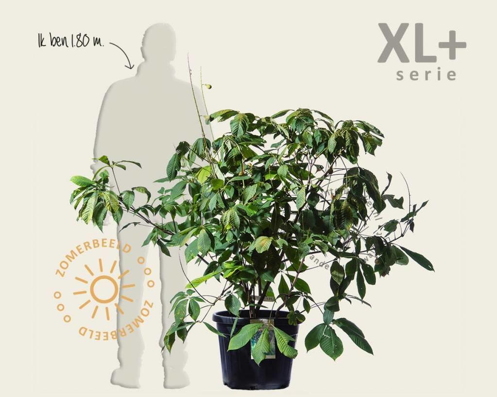 Aesculus parviflora - XL+