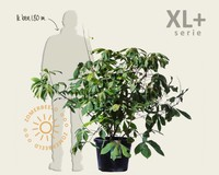 Aesculus parviflora - XL+