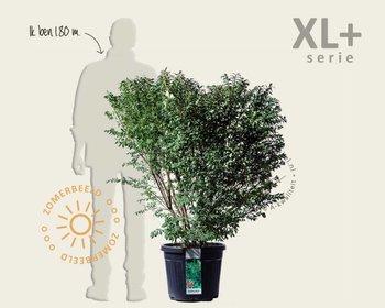 Euonymus alatus 'Compactus' - XL+