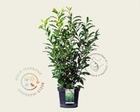 Prunus laurocerasus 'Genolia' 080/100 - in pot