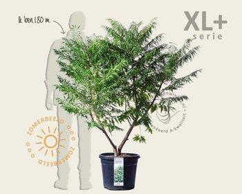Rhus typhina 'Dissecta' - XL+