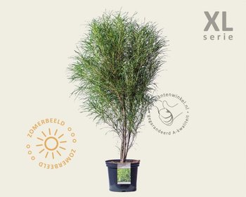 Frangula alnus 'Fine Line' - XL