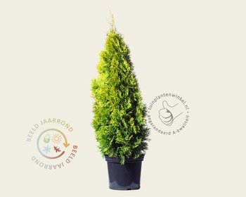 Thuja occidentalis 'Golden Smaragd' 080/100 - in pot