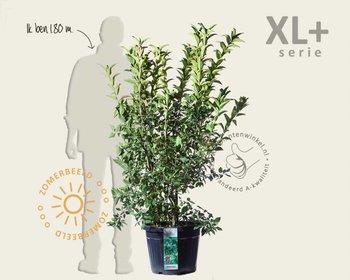 Euonymus europaeus 'Red Cascade' - XL+