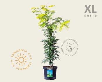 Gleditsia triacanthos 'Sunburst' - XL