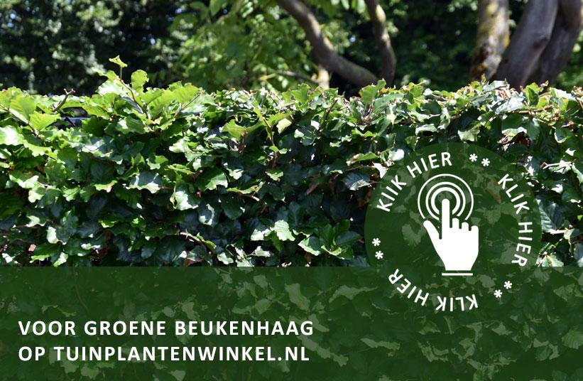 Groene Afscheiding Tuin : Groene beukenhaag snoeien tuintips tuinplantenwinkel