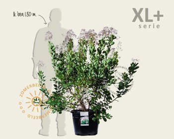 Cotinus coggygria 'Young Lady ' - XL+