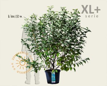 Halesia carolina - XL+