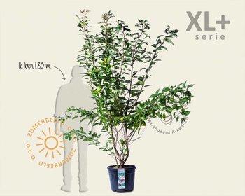 Prunus serrulata 'Kanzan' - XL+