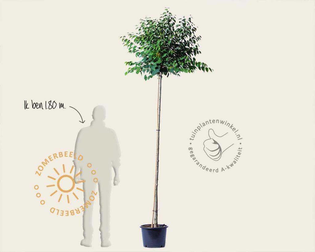 Cercidiphyllum japonicum 'Glowball' - 200 cm stam