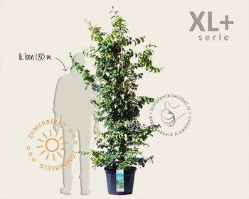 Parrotia persica - XL+