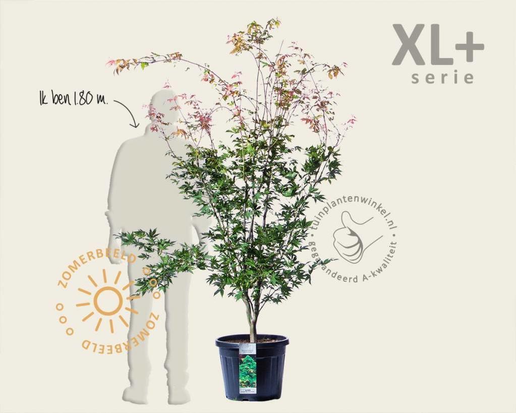 Acer palmatum 'Osakazuki' - XL+