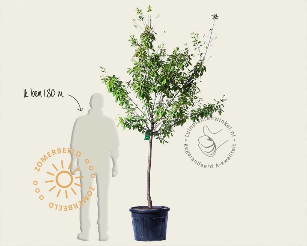 Prunus domestica 'Opal' - halfstam extra