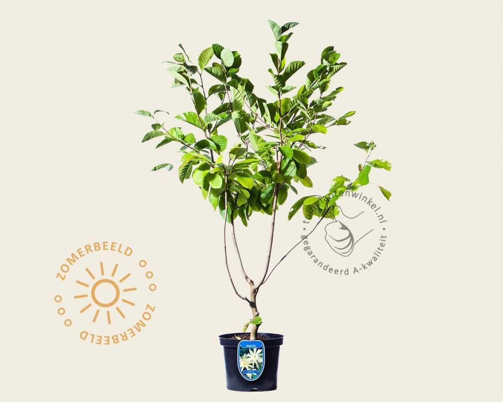 Magnolia 'Goldstar'