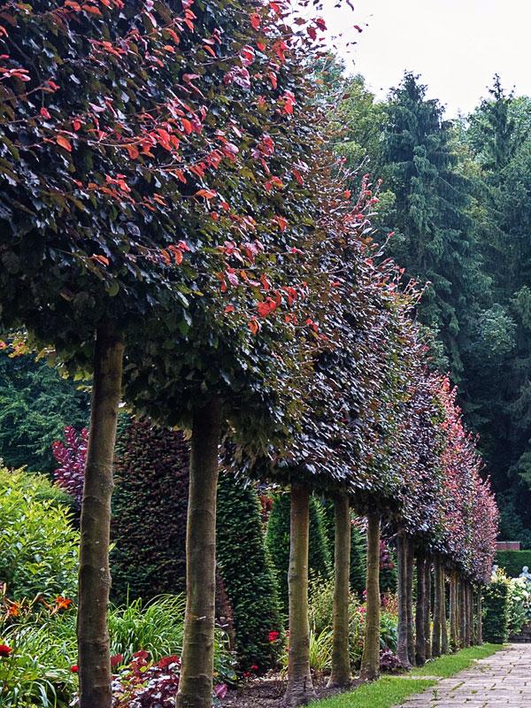 de lei-rode beuk valt op door zijn bruinrood gekleurde bladeren in de zomer