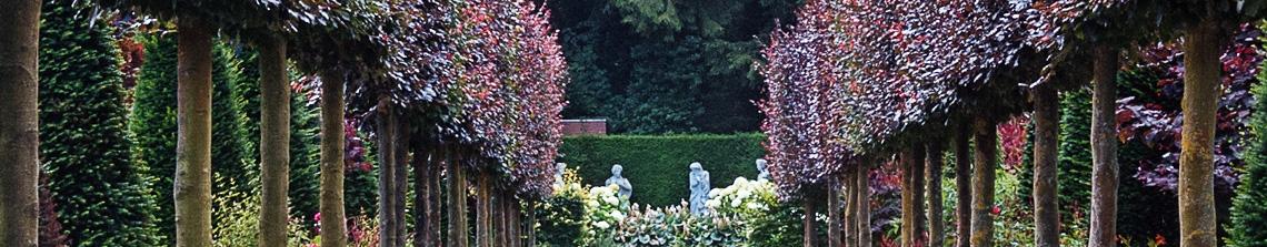 leibomen zijn er in vele soorten en maten. De rode beuk valt op door zijn bruin-rood gekleurde bladeren; hier langs een pad toegepast