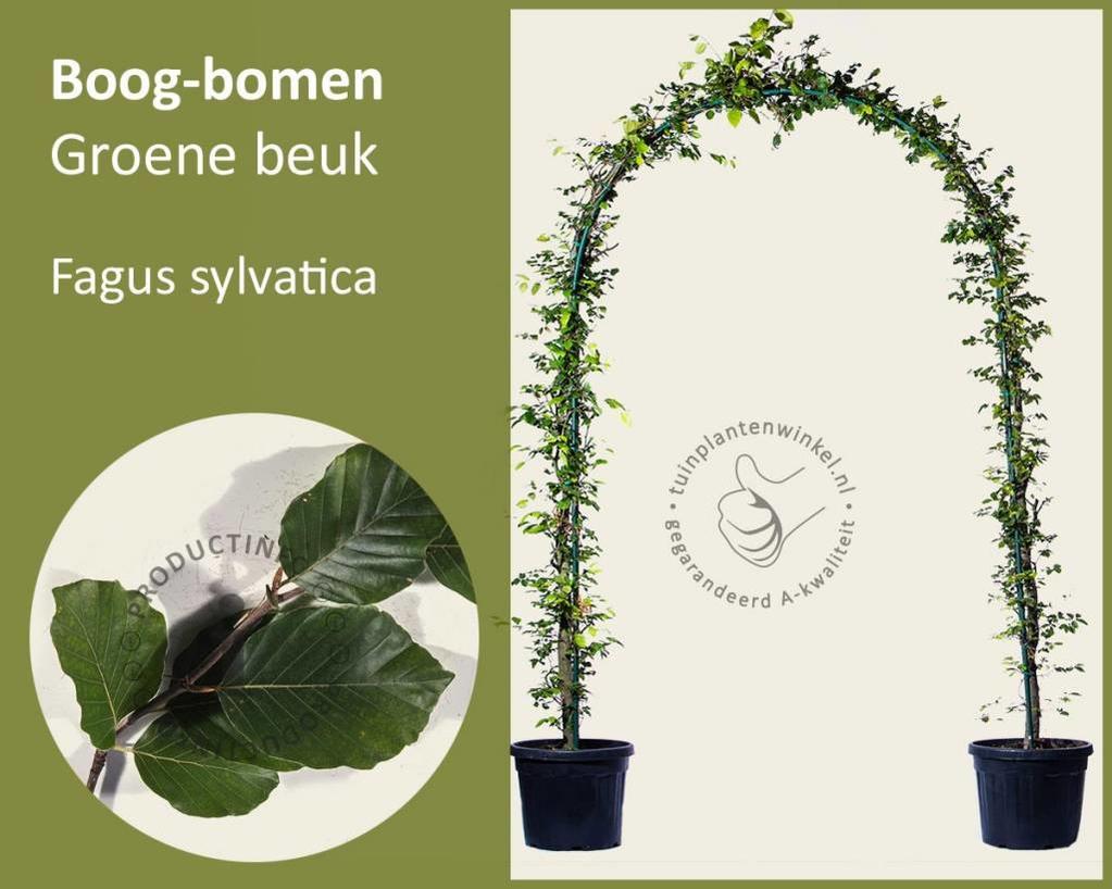 Fagus sylvatica - Boogvorm - set