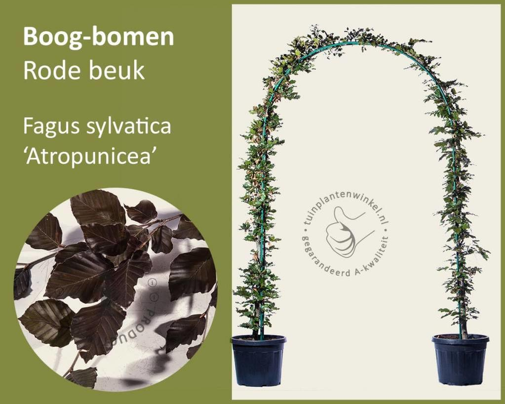 Fagus sylvatica 'Atropunicea' - Boogvorm - set