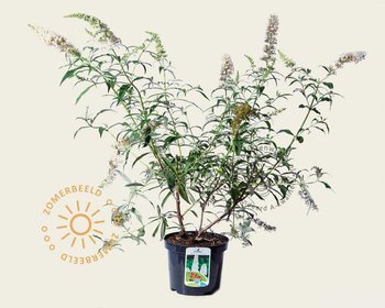 Buddleja davidii 'White Bouquet'