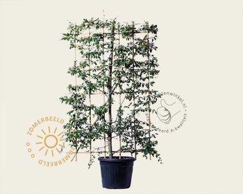 Cotoneaster lacteus - In rek 120x180 cm