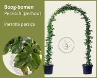 Parrotia persica - Boogvorm - set