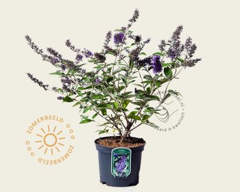 Buddleja davidii FP 'Blue Heaven'