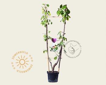 Prunus domestica DUO 'Victoria & Opal'