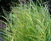 Phragmites australis 'Variegata'