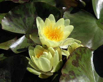 Nymphaea 'Marliacea Chromatella'