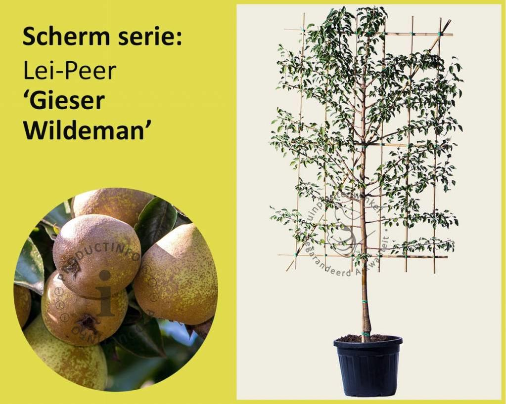 Lei-Peer 'Gieser Wildeman' - Scherm