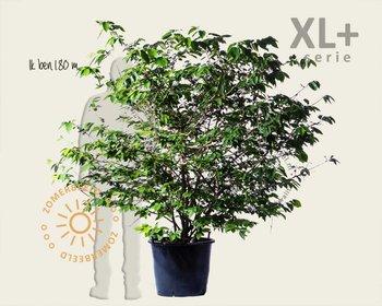 Viburnum plicatum 'St Keverne' - XL+