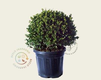 Ilex crenata 'Green Lustre' - bolvorm